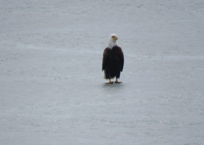 eagle-on-the-lake